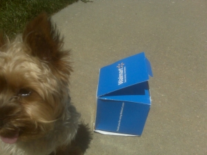 Even Georgie the Yorkie is intrigued by this blue box from Wal-Mart.