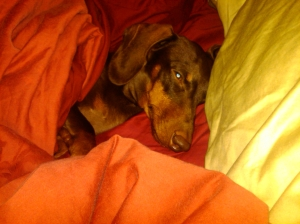 My weenie dog is so spoiled.  Here he is... I was taking a nap and realized Frankie was sleeping right next to me...on his side...under the covers like a person!!